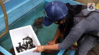 Petani mengumpulkan lobster air tawar siap jual di tempat pembudidayaan BFC Mini Farm, Ciputat, Tangerang Selatan, Banten, Kamis (10/12/2020). Lobster air tawar asal Australia tersebut dijual Rp 60 ribu-Rp 500 ribu untuk memenuhi permintaan rumah makan dalam negeri. (Liputan6.com/Angga Yuniar)