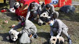 Para peneliti memegang sejumlah bayi panda yang lahir selama tahun 2020 di Pusat Penelitian dan Konservasi China untuk Panda Raksasa di Cagar Alam Wolong, Provinsi Sichuan, China, 3 Februari 2021. Sepuluh bayi panda memulai debutnya menjelang Imlek di Cagar Alam Wolong. (Chinatopix via AP)