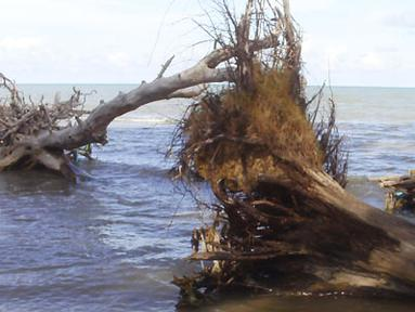 Citizen6, Bangka Belitung: Kehidupan tumbuhan disekitar pesisir pantai terancam punah, khususnya sepanjang pantai Golf sampai pantai Tebing yang terletak di Dusun Ban Motor, Desa Lalang, Kecamatan Manggar, Kabupaten Belitung Timur. (Pengirim: M Fatih)