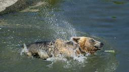 Beruang coklat Andri mendinginkan diri di kolam air di Bear Sanctuary Pristina, dekat ibu kota Pristina, Kosovo, Kamis (8/7/2021). Warga di Eropa timur yang tidak terbiasa dengan suhu tinggi sedang berjuang untuk mengatasi gelombang panas yang melanda seluruh wilayah. (AP Photo/Visar Kryeziu)