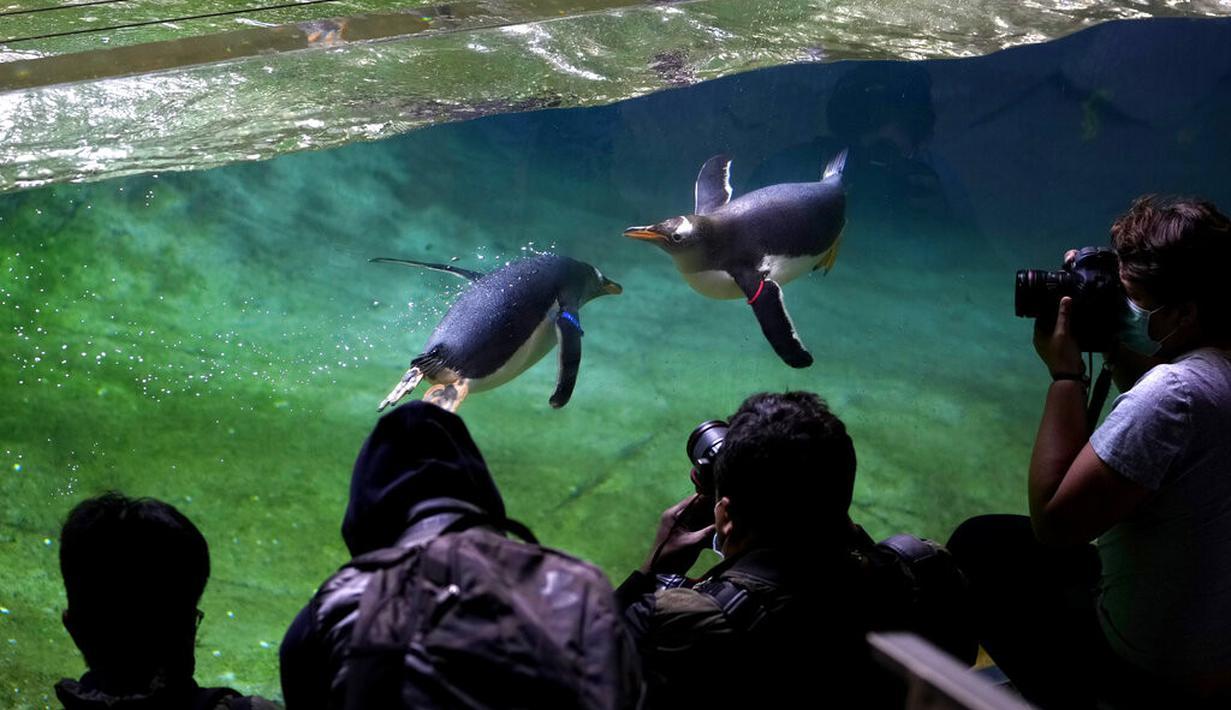 Fotografer mengambil foto penguin Gentoo saat berenang di kandangnya di Taman Pairi Daiza di Cambron-Casteau, Belgia, Senin (5/7/2021).  Pairi Daiza, salah satu kebun binatang terbesar di Eropa itu menambahkan 10 ekor penguin Gentoo sebagai koleksinya. (AP Photo/Virginia Mayo)