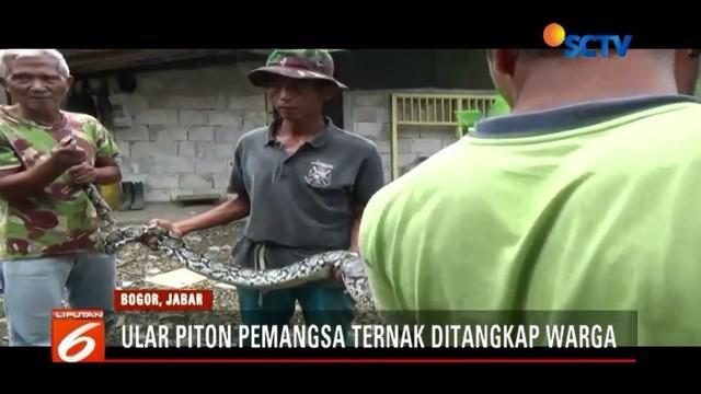 Kesal banyak ternak hilang misterius, warga Ceremai Ujung, Kota Bogor, menangkap seekor ular piton sepanjang tiga meter di bibir tebing Sungai Ciliwung.