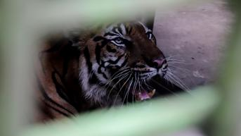 Bintang Baringin, Harimau Sumatera Medan Zoo yang Viral Karena Kurus dan Makan Rumput