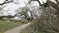 Pohon ek berusia 1.000 tahun berdiri kokoh di tengah Badai Harvey.(Texas Parks and Wildlife)
