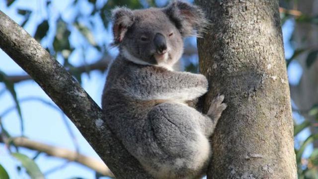 5800 Gambar Hewan Koala Terbaru