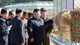 Gambar yang dirilis pada 9 Oktober 2019, pemimpin Korea Utara, Kim Jong-un memeriksa hasil panen saat mengunjungi Pertanian No. 1116 dari KPA Unit 810 di lokasi yang dirahasiakan. Ini merupakan penampilan perdana Kim sejak perundingan nuklir dengan AS tidak mencapai titik temu. (KCNA VIA KNS/AFP)