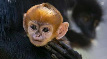 Salah satu bayi monyet paling langka di dunia telah lahir di Kebun Binatang Taronga, Sydney. (Rick Stevens / TARONGA ZOO / AFP)