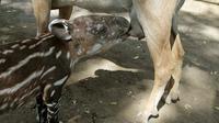 Momen unik di Kebun Binatang Nasional Managua, Nikaragua, Kamis (14/4). Seekor anak Tapir menyusu pada seekor kambing.(Reuters/ Oswaldo Rivas)
