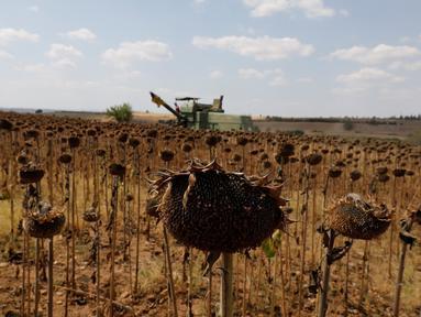 Ladang bunga matahari di Provinsi Edirne, Turki, 26 Agustus 2020. Sedat Kacar, petani Turki yang memiliki dua lading, menyatakan kesedihannya karena hasil panen diperkirakan akan menurun akibat cuaca ekstrem tahun ini, di saat perekonomian negara juga terpukul oleh pandemi. (Xinhua/Osman Orsal)