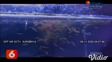 Ikan gabus bagi sebagian orang dianggap sebagai ikan predator, yang hidup di rawa-rawa dan diburu untuk dikonsumsi atau sebagai obat. Namun berbeda dengan ikan gabus hias atau biasa disebut ikan channa.