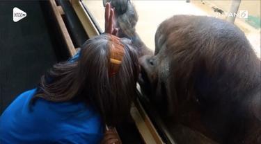 Satu individu orangutan terkejut saat seorang wanita menciumnya