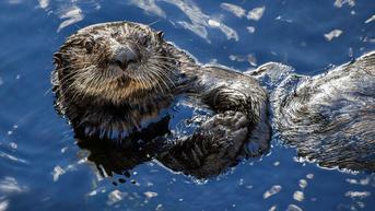 Menguak Jasa Berang-Berang Laut, Hewan Pelawan Perubahan Iklim