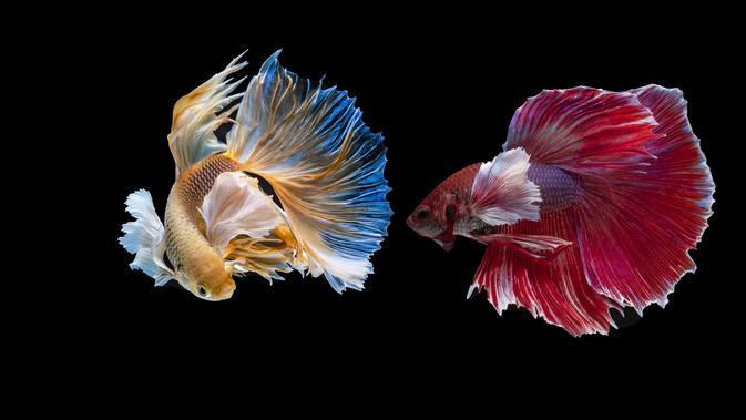 Ikan Cupang Loncat