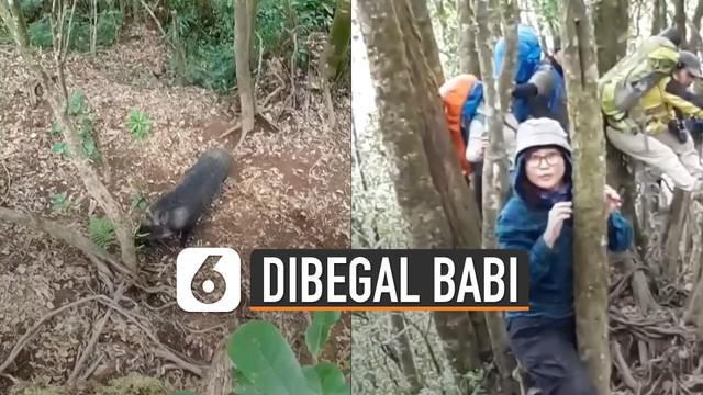 Rombongan pendaki di Gunung Cikuray, Garut, Jawa Barat dibuat panik oleh seekor babi.