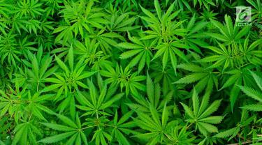 Ganja atau Mariyuana
