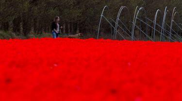Seorang wanita bersama anjingnya berjalan di sepanjang ladang tulip merah yang dibiarkan mekar untuk mengolah umbi, dekat Lisse, Belanda tengah barat, (17/4). Pemerintah Belanda menempatkan total ekspor bunga sekitar 9 miliar euro. (AP Photo/Peter Dejong)