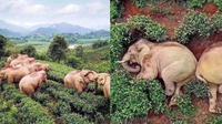 Potret gajah mabuk di kebun teh milik warga di Yunan, China. (Sumber: Daily Star)