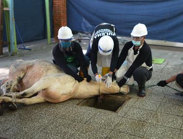FOTO: Simulasi Penyembelihan Hewan Kurban Saat Pandemi COVID-19