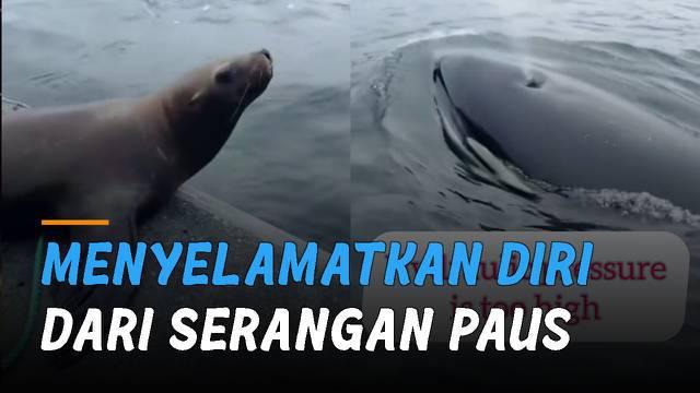 Seorang wanita usir singa laut yang berlindung di kapalnya. Kejadian itu terjadi saat beberapa paus orca atau paus pembunuh mengincar singa laut tersebut.