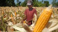 Gubernur Lampung, M Ridho Ficardo mengimbau petani beralih ke tanaman jagung sebagai respons jangka pendek akibat kejatuhan harga singkong.