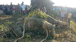 Gajah liar yang dijuluki Osama bin Laden terbaring setelah ditangkap oleh penduduk desa di Divisi Hutan Rongjuli, Distrik Goalpara, Assam, India, Selasa (12/11/2019). Penduduk desa menjulukinya Osama bin Laden karena telah mengamuk dan membunuh warga. (STR/AFP)