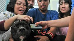 Seekor anjing saat dipasangi microchip di Balaikota, Jakarta, Minggu (7/2). Melalui microchip diharapkan pengembangbiakan hewan dan penyakitnya dapat terkontrol karena datanya langsung terhubung dengan smartcity. (Liputan6.com/Yoppy Renato)