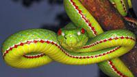 Pit Viper yang mematikan (Credit: Ephotocorp/Alamy)