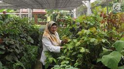 Peneliti tanaman Begonia Hartutiningsih melakukan proses adaptasi Begonia yang dikumpulkan dari hutan-hutan di Indonesia untuk dijadikan tanaman komersil pada rumah kaca di Kebun Raya, Bogor, Senin (25/2). (Merdeka.com/Arie Basuki)