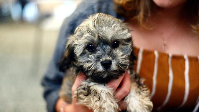 10 Jenis Anjing Ras Kecil Menggemaskan Yang Cocok Sebagai Teman Di Rumah Hot Liputan6 Com