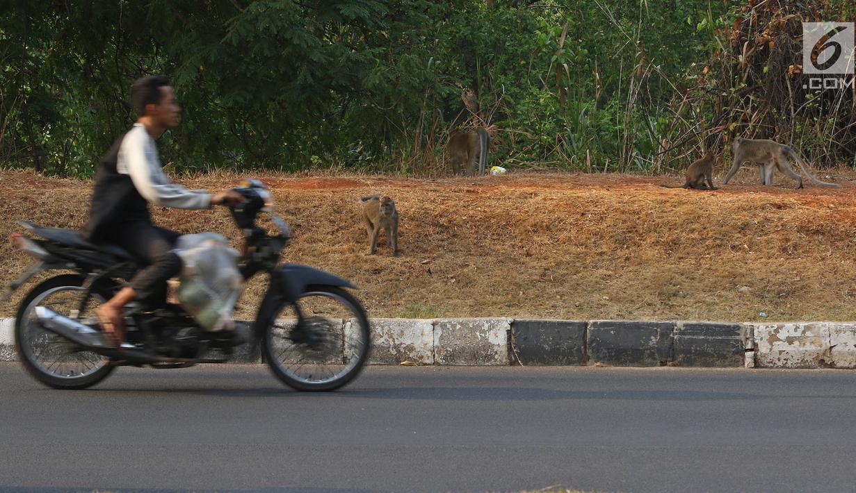 Pengendara motor melintas di dekat kawanan monyet di kawasan Pantai Indah Kapuk (PIK), Jakarta, Selasa (17/9/2019). Kawanan monyet yang berasal dari Suaka Margasatwa Muara Angke tersebut keluar dari habitatnya ke jalan untuk mencari makanan. (Liputan6.com/Herman Zakharia)