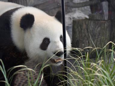 Panda betina Meng Meng berjalan dalam kandangnya di kebun binatang Zoologischer Garten, Berlin pada Rabu (14/8/2019). Sejumlah pakar mengatakan, mereka sangat yakin seekor panda betina berusia enam tahun tersebut sedang hamil. (Tobias SCHWARZ / AFP)