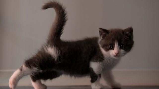 Kloning Kucing