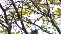 Monyet Surili Jawa (Presbytis Comata) bertengger di pepohonan Taman Nasional Gunung Halimun Salak (TNGHS), Jawa Barat, Sabtu (5/1). Surili dewasa memiliki warna punggung (dorsal) berwarna hitam atau cokelat tua keabuan. (Merdeka.com/Iqbal Nugroho)