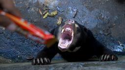 Seekor beruang madu ditawarkan cokelat oleh pengunjung Kebun Binatang Bandung, Jawa Barat, Rabu (18/1). Beruang madu yang kelaparan di Bonbin Bandung tersebut menjadi sorotan media dan aktivis perlindungan hewan internasional. (TIMUR MATAHARI / AFP)