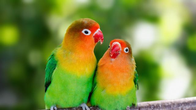 Manfaat Daun Mengkudu Buat Lovebird Tingkatkan Kualitas Kicaunya
