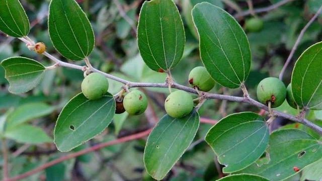 Dieta para la diabetes khasiat daun mengkudu untuk