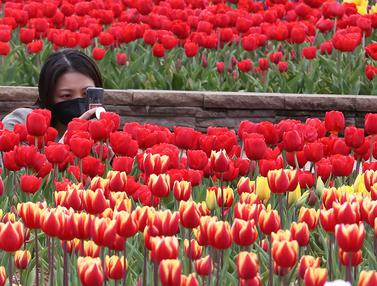 Bunga Tulip Bermekaran Saat Musim Semi di Korsel