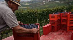 Seorang petani merapikan keranjang berisi anggur Nebbiolo selama panen di Laghe Country side dekat Turin, Italia (14/9/2019). Barolo adalah anggur Denominazione di Origine Controllata e Garantita (DOCG) merah yang diproduksi di wilayah Italia. (AFP Photo/Marco Bertorello)