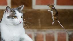 Seekor tikus kecil berusaha melompat untuk menghindari serangan dari kucing yang siap memangsanya, Jerman, Sabtu (20/12/2014). (AFP Photo/Julian Stratenschulte)