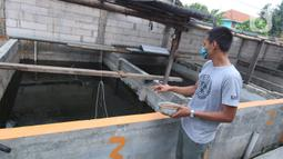 Seorang warga memberi pakan untuk ikan lele budidaya di Tangerang, Jumat (6/11/2020). Pemerintah setempat bersama warga memanfaatkan lahan untuk bubidaya ikan lele guna menggerakan ekonomi masyarakat di masa pandemi COVID-19. (Liputan6.com/Angga Yuniar)