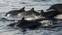 Lumba-lumba berenang dekat perahu yang berisi wisatawan di perairan Pantai Lovina di Singaraja, Bali, Jumat (30/10/2020). Pantai Lovin aini salah satu destinasi pariwisata di Pulau Bali yang menawarkan pemandangan matahari terbit dan wisata mengamati lumba-lumba di laut lepas. (SONNY TUMBELAKA/AFP)