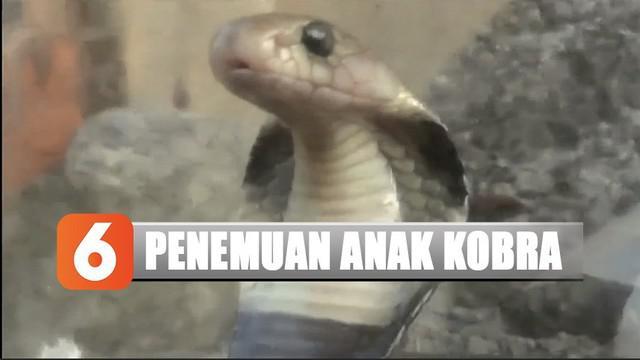 Penemuan ular kobra membuat warga resah. Mereka khawatir masih ada beberapa ular kobra lainnya yang berkeliaran. Termasuk sang induk.