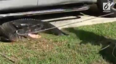 Petugas tangkap seekor buaya yang bersembunyi di kolong mobil.