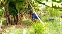 Prospek bisnis pisang Cavendish cukup menjanjikan untuk dikembangkan.