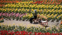 Seorang pengunjung yang memakai masker memegang kamera di ladang tulip di sebuah taman di Paju, Korea Selatan, pada 14 April 2021. Korea Selatan sedang menyambut musim semi yang akan berlangsung dari Maret hingga Mei. (AP Photo/ Lee Jin-man)