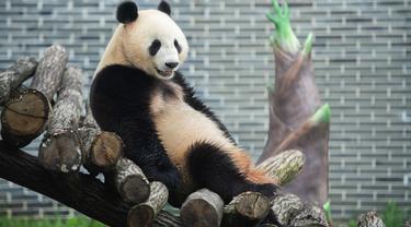 Seekor panda raksasa terlihat di taman panda raksasa yang baru dibuka di Prefektur Otonom Etnis Tujia dan Miao Xiangxi, Provinsi Hunan, China tengah, pada 1 Juli 2020. Delapan ekor panda raksasa dari Provinsi Sichuan, China barat daya, tampil perdana di taman itu pada Rabu (1/7). (Xinhua/Chen S