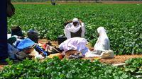 Buruh perempuan salat di tengah ladang melon yang daunnya diserang ulat. (Foto : Liputan6.com/krjogja.com/Jarot Sarwosambodo)