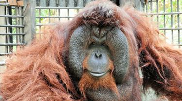 Dua Orangutan Pulang Kampung ke Kalimantan