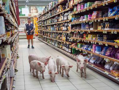 Anak babi berjalan menyusuri lorong supermarket Casino di Sarlat, Perancis barat daya, setelah para petani melepaskannya sebagai bentuk demo di supermarket tersebut, Kamis (20/8/2015). (AFP PHOTO/Yohan Bonnet)