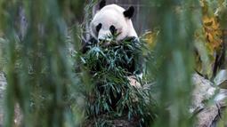 Panda raksasa Bei Bei memakan bambu sebelum kembali ke China, di Smithsonian National Zoo, Washington DC, Selasa (19/11/2019). Bei Bei akan berangkat naik pesawat Boeing 777F dan mendapatkan sejumlah pilihan makanan kesukaannya, seperti 30 kg bambu sepanjang perjalanannya. (AP/Michael A. McCoy)